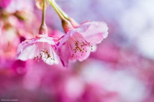 Kazuki_Koikeda_Spring_Awakening_ZUVgQGtd.jpg